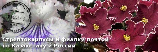 Стрептокарпусы и фиалки почтой по Казахстану и России